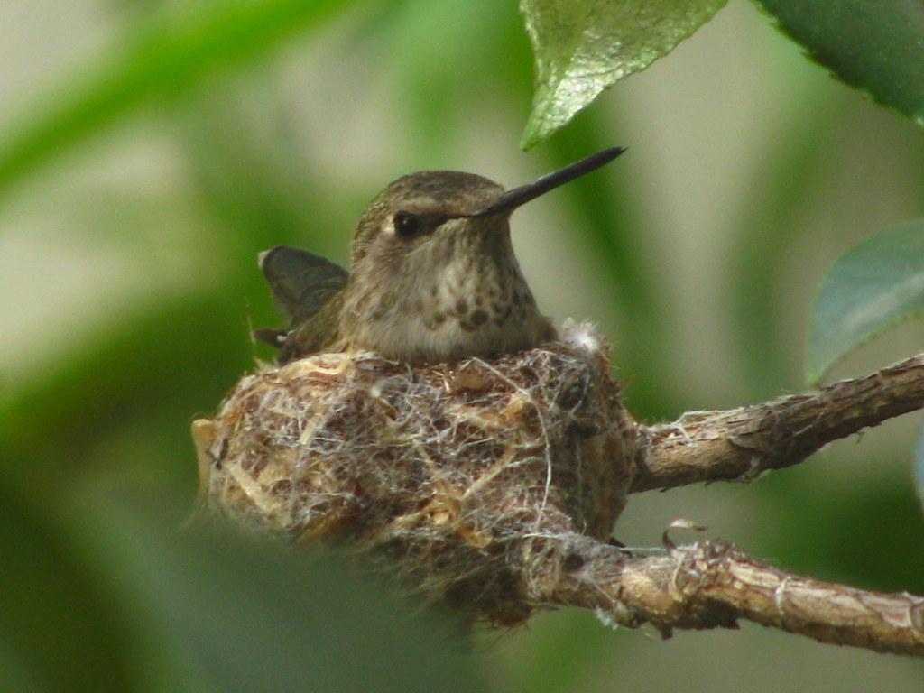 Hummingbird sx100