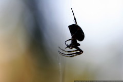 spooky spider for halloween    MG 5430