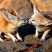 Kissing fennec fox