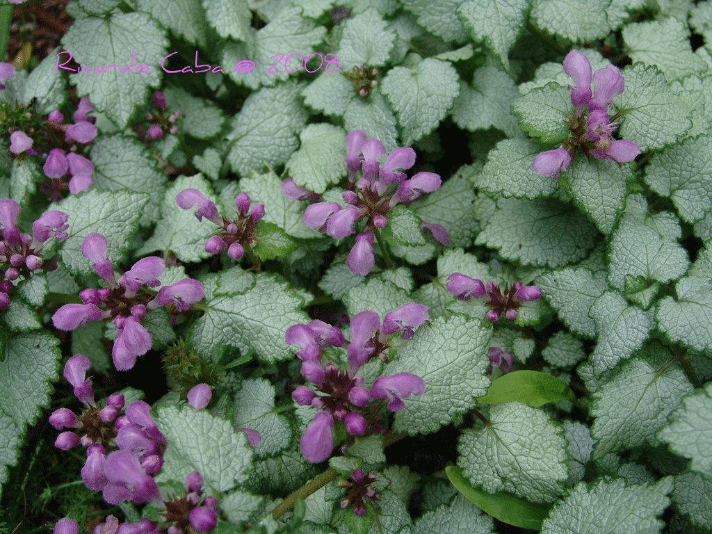 how to grow beacon silver lamium