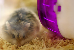 animal, guinea pig, rodent, pet, hamster, whiskers, gerbil,