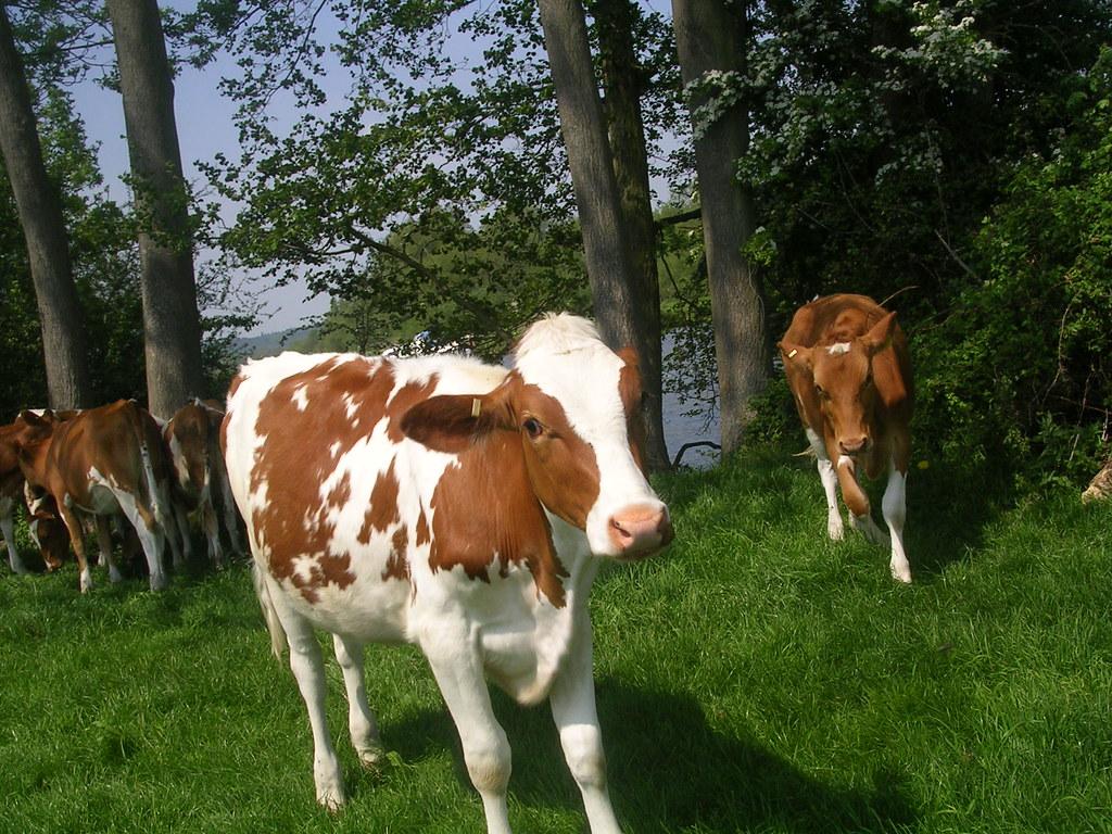 Calves Marlow Circular