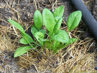 Freshly Planted Spinach