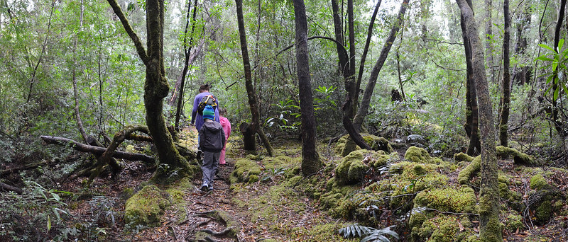 Almost everything is covered in moss on the Whyte River Walk - Tarkine Wilderness - Corinna - Tasmania