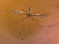 arthropod, animal, dragonflies and damseflies, mosquito, wing, invertebrate, macro photography, fauna,