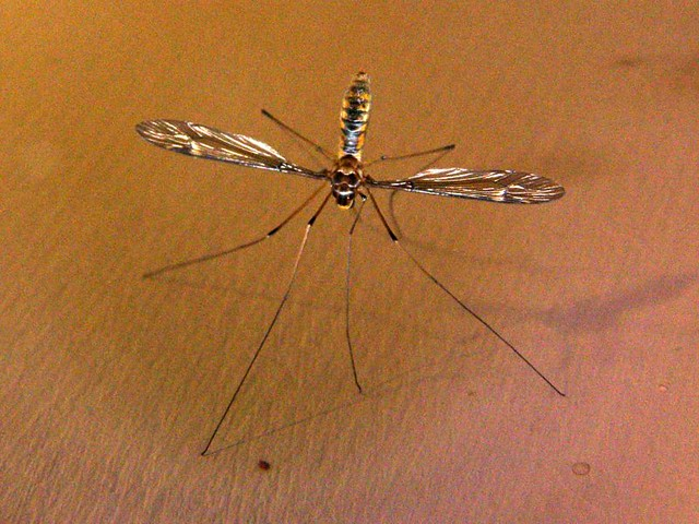 Hexham Grey Mosquito, Aedes alternans | Flickr - Photo Sharing! Chris