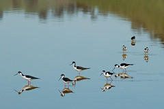 Black-necked stilts browsing