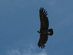animal, hawk, bird of prey, wing, vulture, blue, buzzard, accipitriformes, sky, bird, flight, condor,