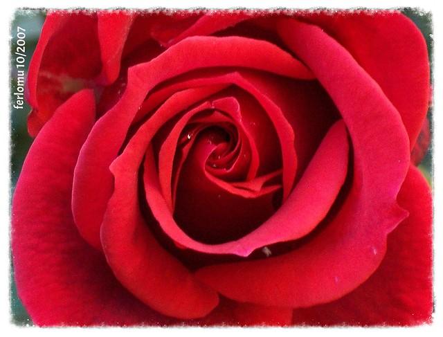 Rosa Santo Toribio de Liébana 2