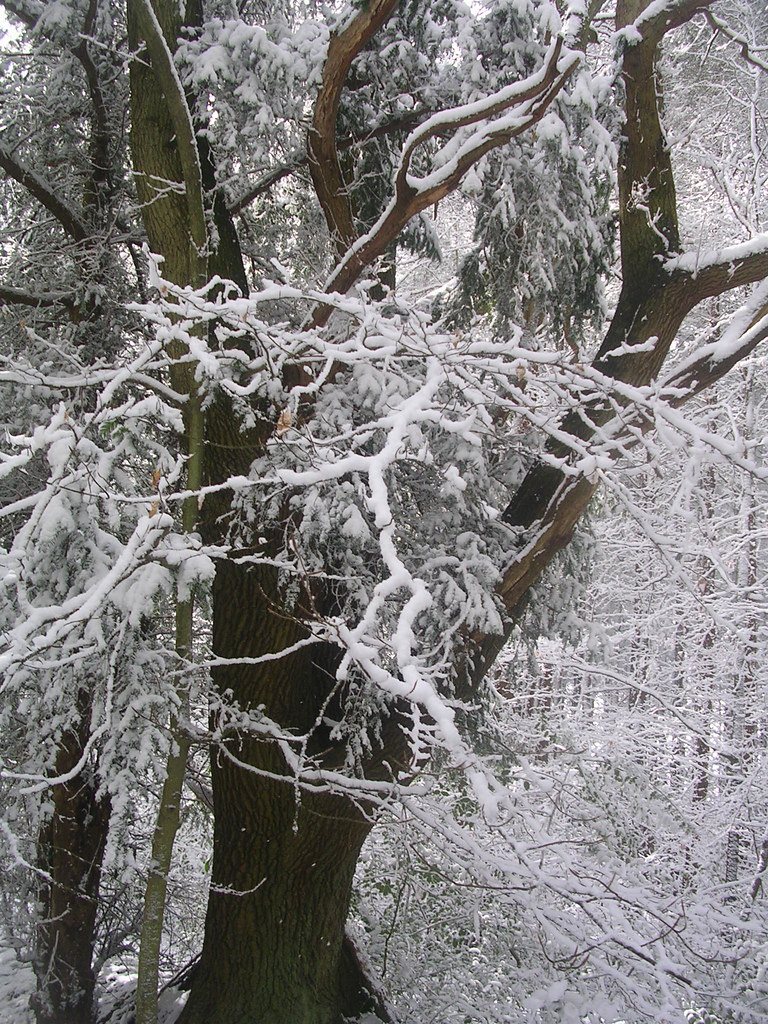 Snowy tree Haslemere Circular (silent walk)