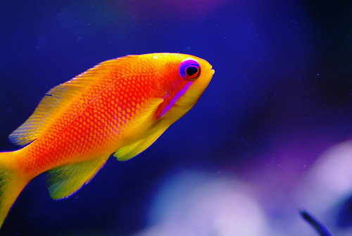 Squamipinis blue eye anthias reef central online community for What fish has eyelids