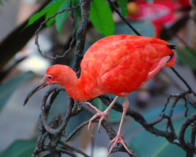 topic sentence on scarlet ibis The scarlet ibis paragraphplease respond to the following prompt in a two-chunk paragraph (2 quotes 8 sentences total)throughout the scarlet ibis by james hurst, the narrator pushes doodle to overcome his disabilities.
