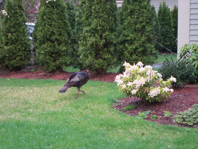wild turkey trots toward backyard.