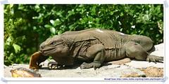 20041020_Guana@BVI_Rock Iguana_002_A