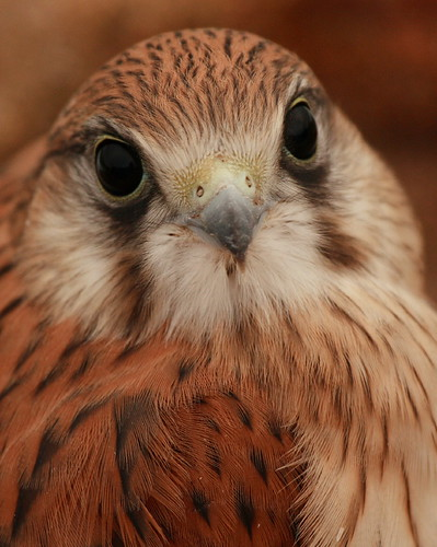 Nankeen Kestrel close up