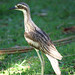 Bush Stone-curlew - Photo (c) David Cook Wildlife Photography, some rights reserved (CC BY-NC)