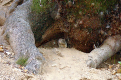 7c. Ground Squirrel