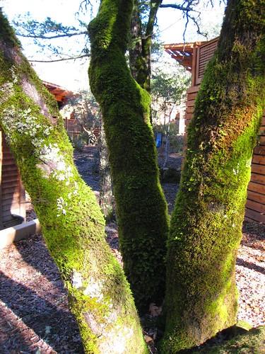 napa, calistoga ranch, moss, green IMG_1353