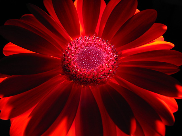 Red daisy macro 1