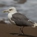 Putative Steppe Gull