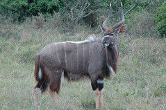 waterbuck(0.0), herd(0.0), common eland(0.0), grazing(0.0), animal(1.0), prairie(1.0), antelope(1.0), wildebeest(1.0), mammal(1.0), horn(1.0), fauna(1.0), kudu(1.0), pasture(1.0), wildlife(1.0),