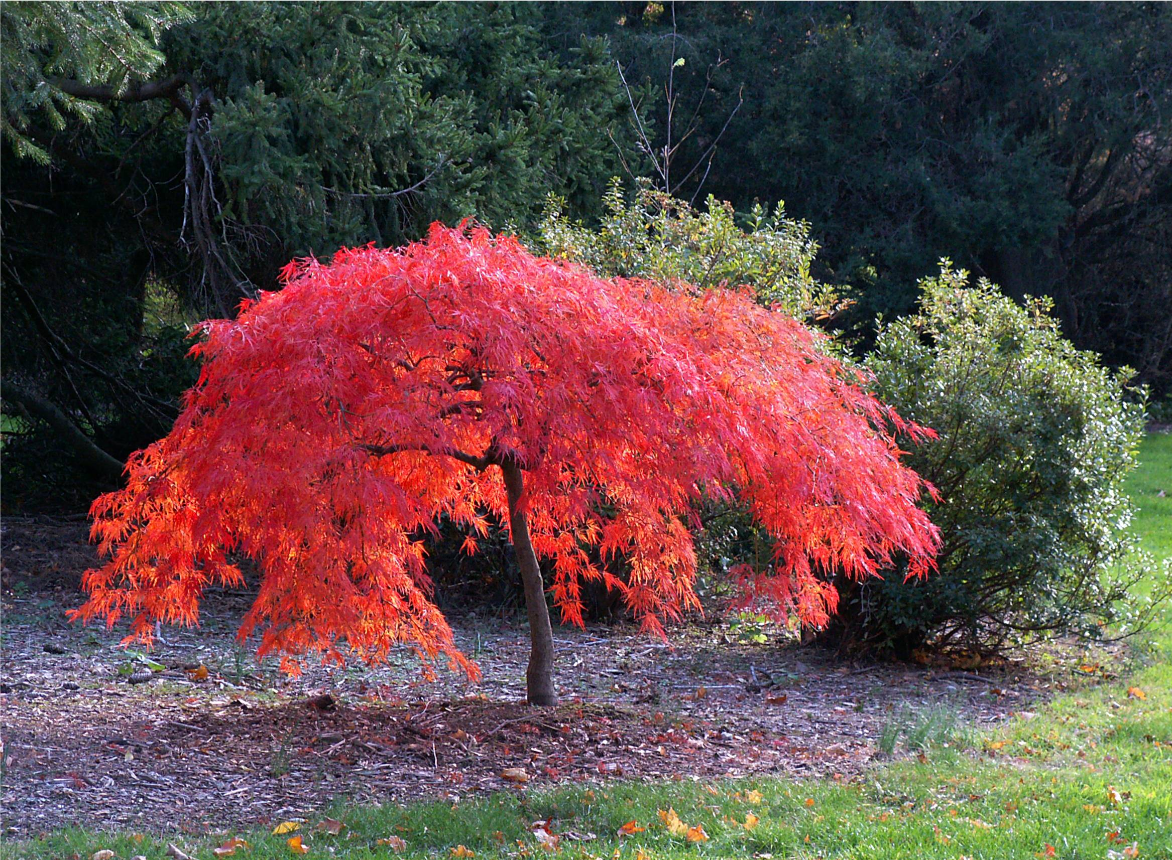 Iridescent japanese miniature maple flickr photo sharing for Small trees for japanese garden