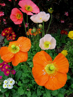 Poppies on Parade, Rainbow of Petal Power