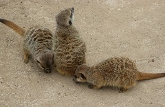 animal, prairie dog, mammal, fauna, meerkat, wildlife,