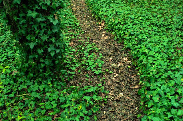 Ivy invasion