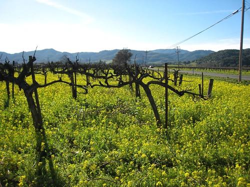 napa, mustard, old vines IMG_1367