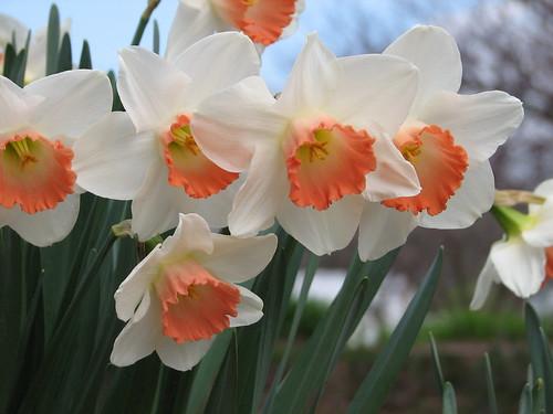 Daffodil 'Pink Charm'
