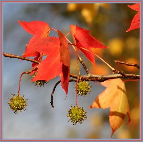 6nov07: autumn colours-American Sweetgum.