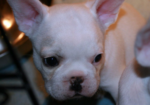 Harley's Frenchies http://www.flickr.com/photos/frenchbulldogs/2116261084/