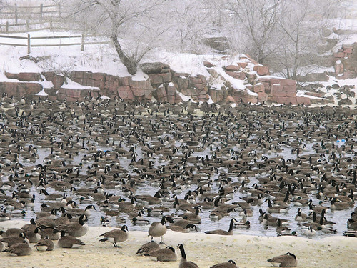 Many Canadian geese in winter park