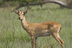 animal, prairie, antelope, springbok, mammal, horn, waterbuck, fauna, grassland, safari, wildlife,