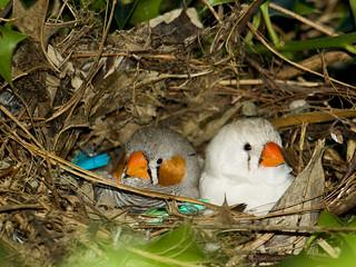 Nesting Zebra Finches