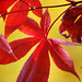 Japanese Maple - Photo (c) dachalan, some rights reserved (CC BY-NC-SA)