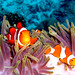 Clownfishes at East of Eden, Thailand by _takau99