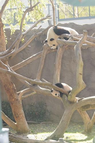 Zhen Zhen & Bai Yun 1.12.2008