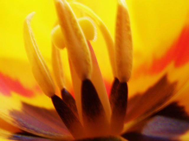 Tulip Flower, 01