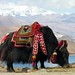 Tibet-5812 - Yak at Yundrok Yumtso Lake