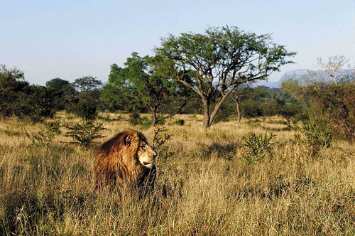 A Lion in the Kapama - South Africa