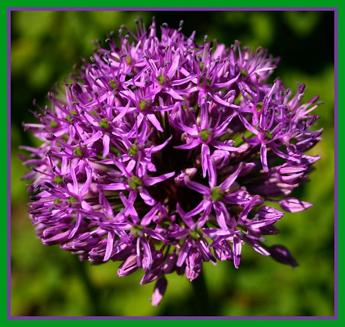 A BEAUTIFUL ALIUM FOR YOU.