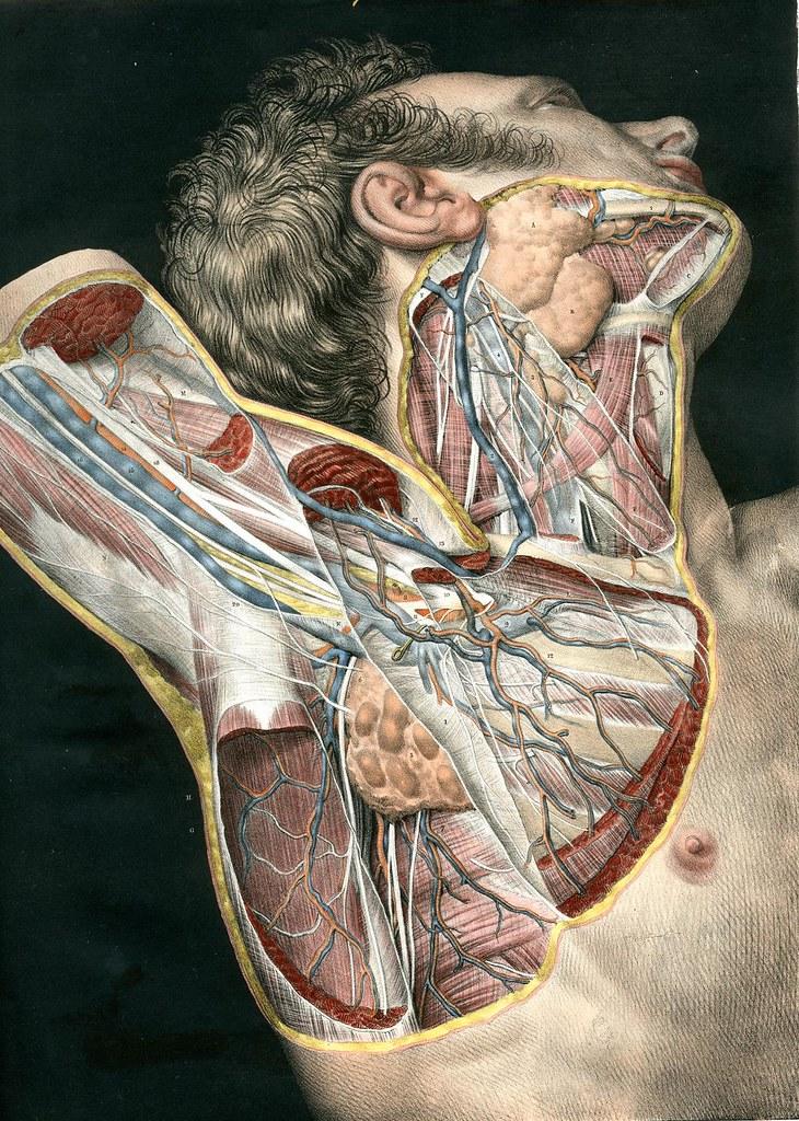 Loges musculaires, aponévroses, vaisseux et nerfs du cou et de l'aisselle