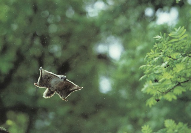 Flying squirrel gliding