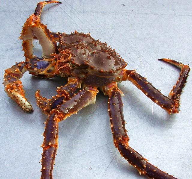 Blue King Crab (Paralithodes platypus)