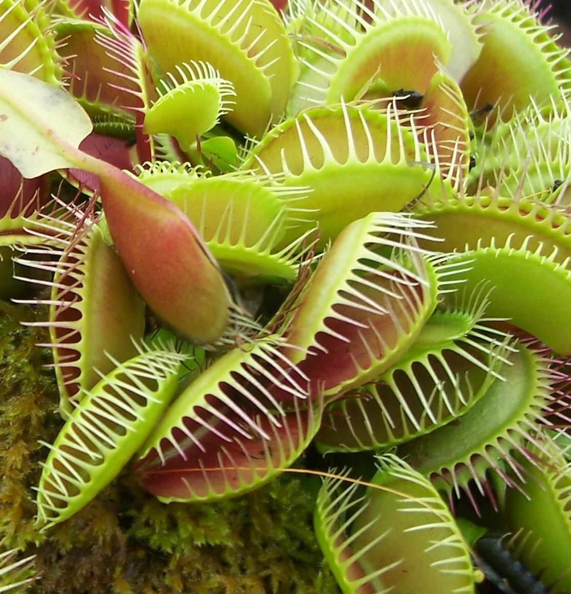 Venus flytrap wkrp