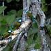 Momoto de ceja turquesa, Turquoise-browed motmot, Eumomota supercilliosa en el Cenote Sagrado de Chichén Itza by fvaldes