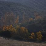 Trees_Olive