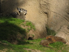 baby Klipspringer with dwarf  mongoose